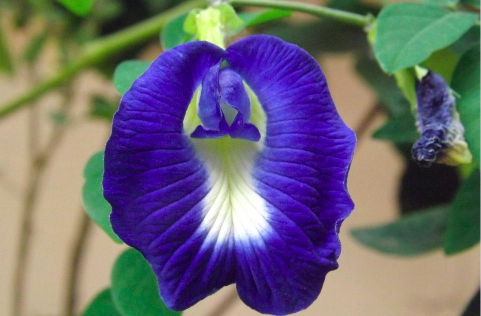 Berbahaya Bagi tubuh,Departemen Kesehatan Taipei Keluarkan Peringatan Untuk Tidak Mengkonsumsi Blue Butterfly Pea