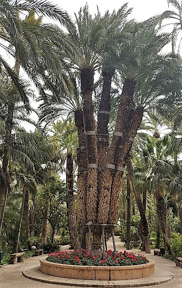 the Imperial palm tree at Elche Gardens - The Huerto del Cura