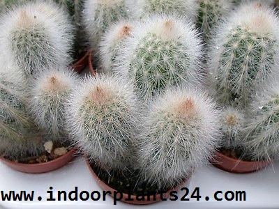 Cephalocereus Senilis OLD-MAN CACTUS Plant