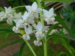Faux-cotonnier ballon - Arbre à ballons - Gomphocarpe physocarpe - Petite ouate - Gomphocarpus physocarpus