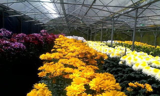 Bunga Indah Malino, Pengekspor Bunga Krisan Hingga Ke Jepang