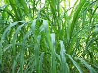 picture of napier or elephant grass