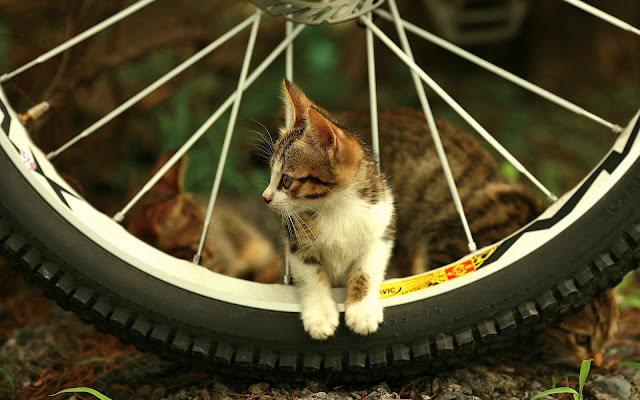 Kat tussen de spaken van een wiel