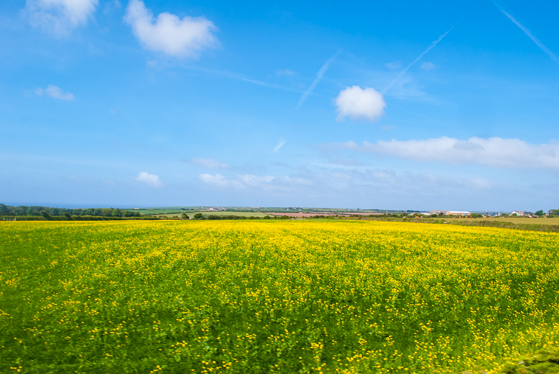 5 Fun facts of cornwall - yellow flowers bloomed on green fields as we drive across town to town