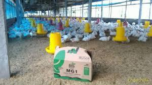 MaxiGrow Effect pertumbuhan ayam lebih cepat