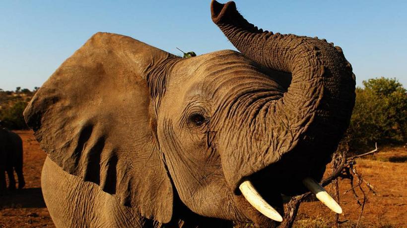 baixar toque mp3 grito elefante