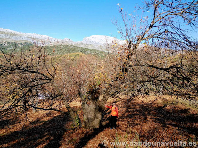 Buen ejemplar de castaño en la ruta de senderismo de los castaños Parauta