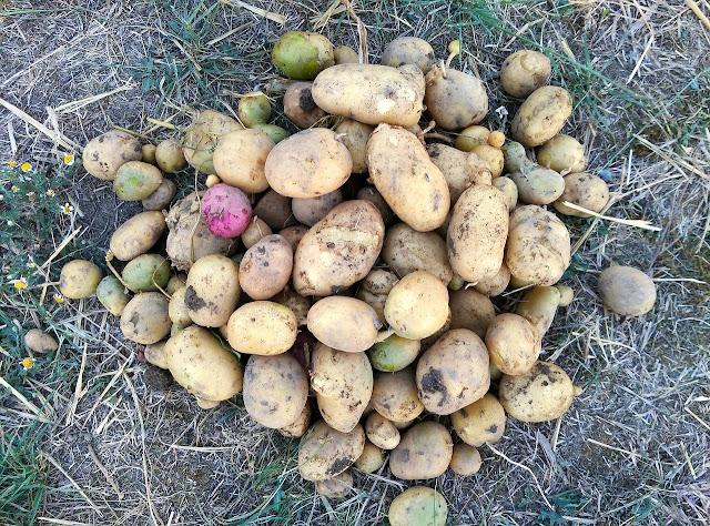 اهم طرق زراعة البطاطس Potatos-2927743_1280