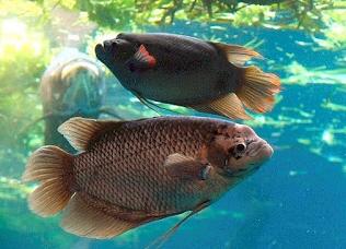 Cara Budidaya Ikan Gurame di Kolam Kecil Dan Aquarium