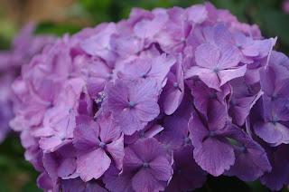 Цветок имени Лидия - гортензия