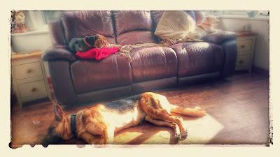 Loki, GSD. Neo, Beagle. Mojo, JRT dogs sleeping