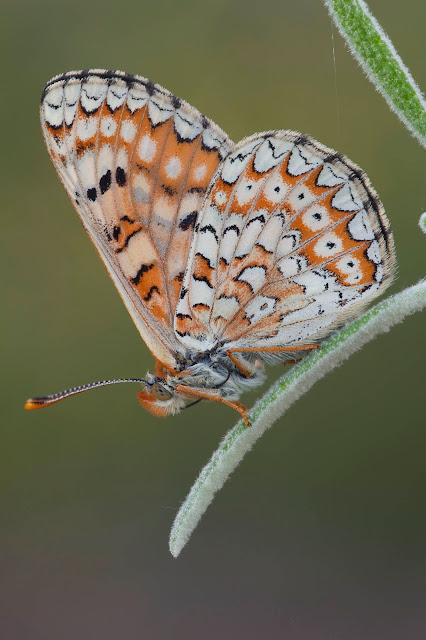 Reverso de Euphydryas desfontainii