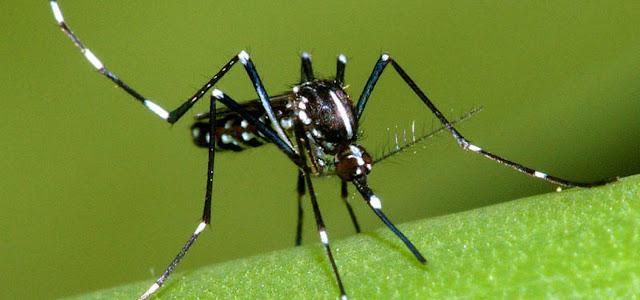 Quanto vive una zanzara
