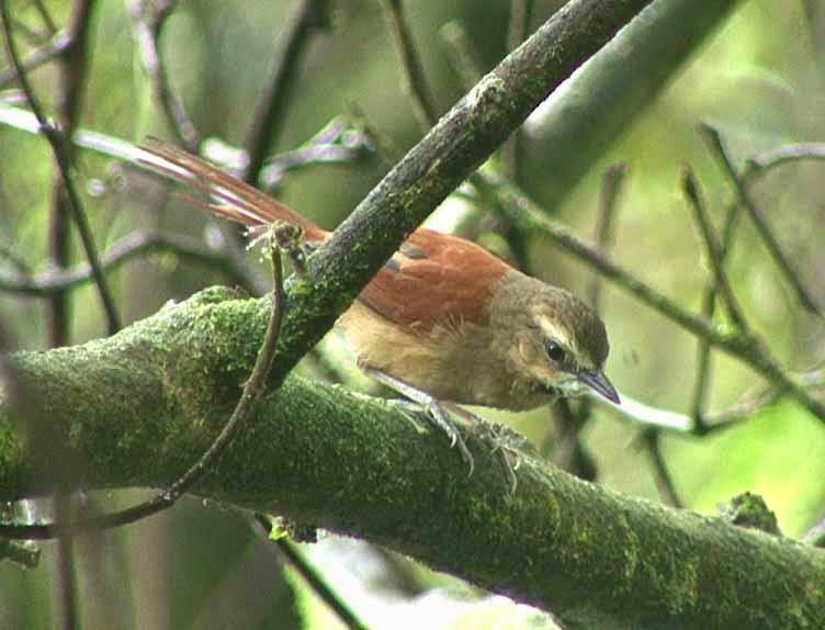 Ochre cheeked Spinetail