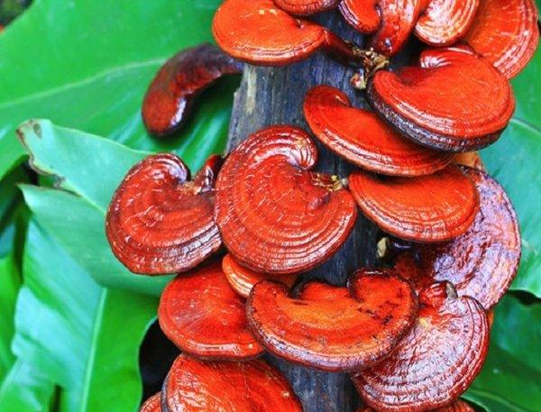 Nấm linh chi đỏ được Bộ Y tế Thái Lan khuyên dùng