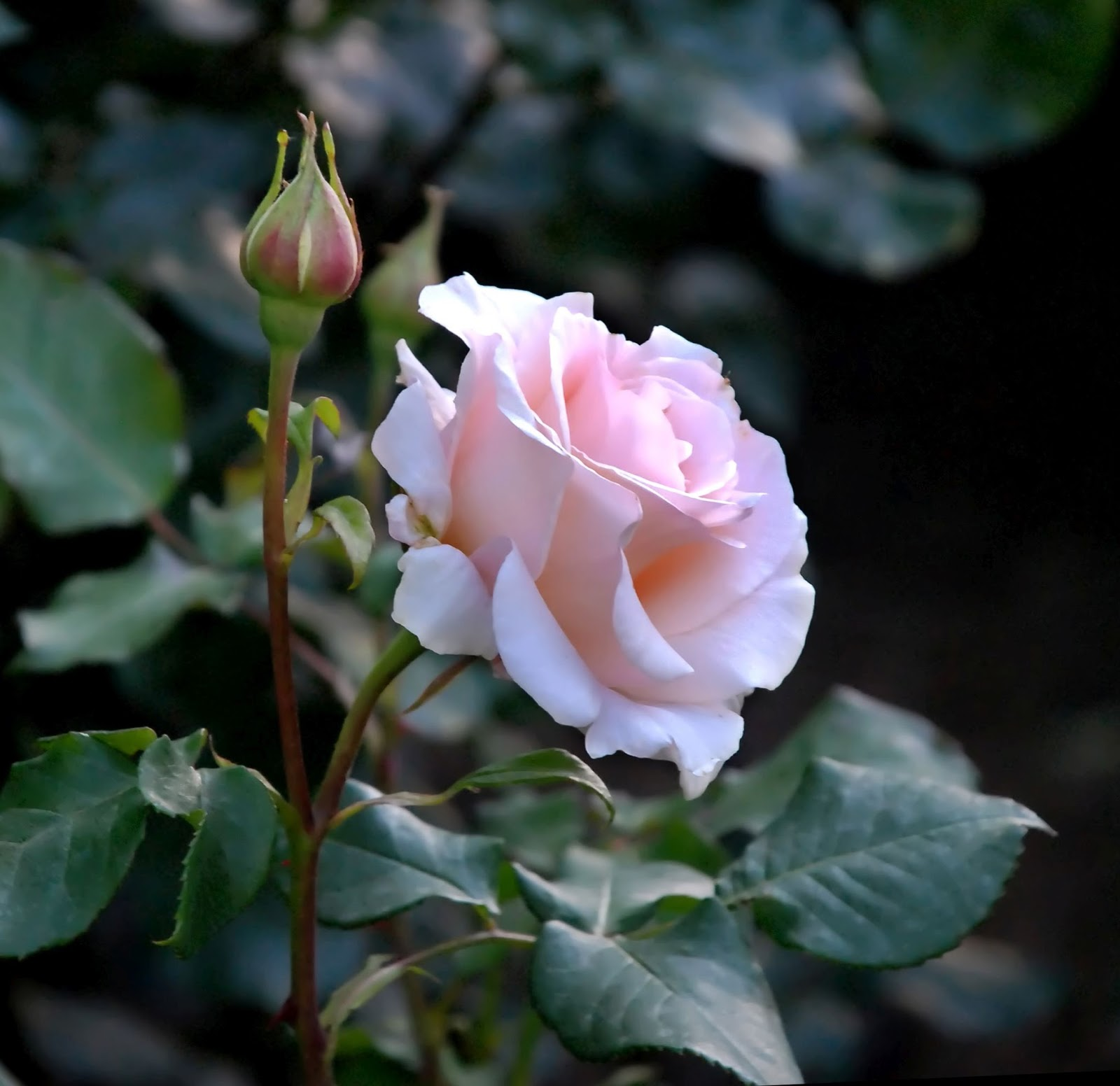 The+Rose+Reference+Photo.jpg 1,600×1,552 pixels   Beautiful flowers, Rose reference, Rose