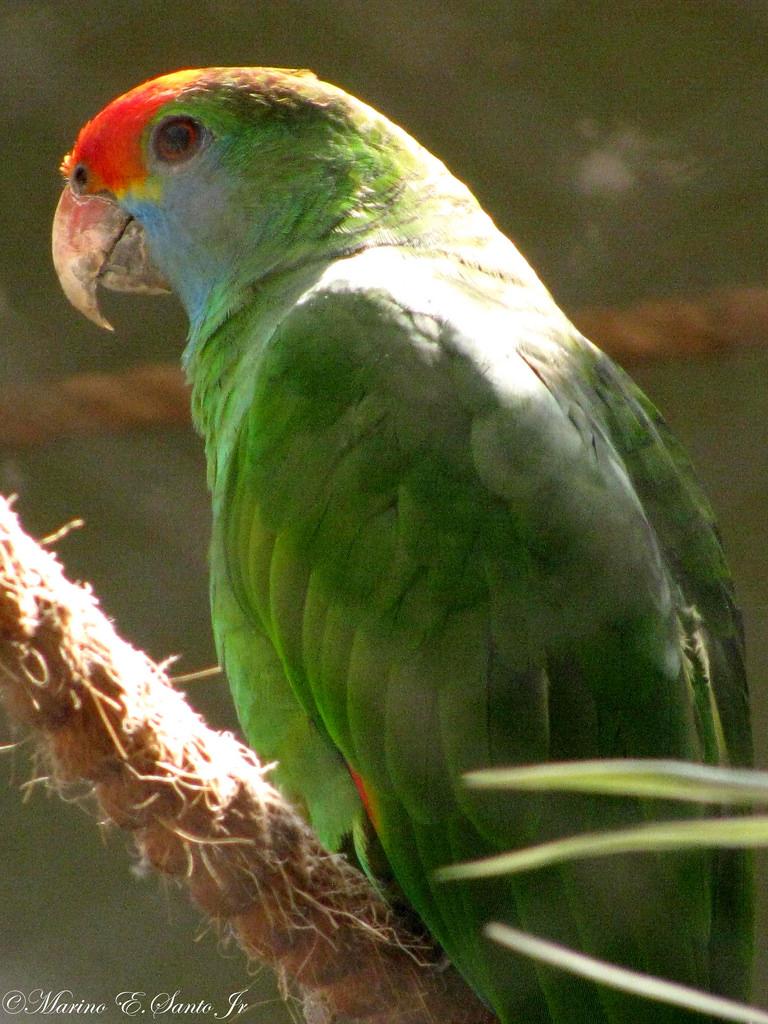 Papagaio-Chauá (Amazona rhodocorytha)