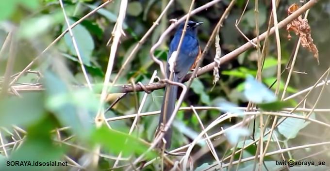 Kicauan Burung Liar di Waktu Pagi Siang dan Sore