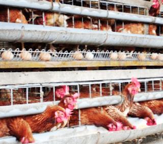 Cara-Membuat-Pakan-Ayam-Petelur-Alternatif-Sendiri-Murah-Lengkap