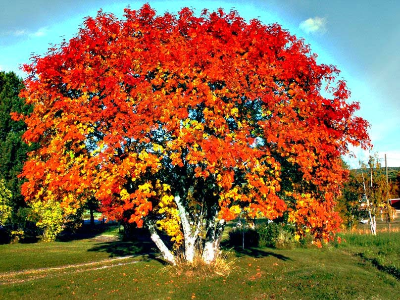 big-red-autumn-tree