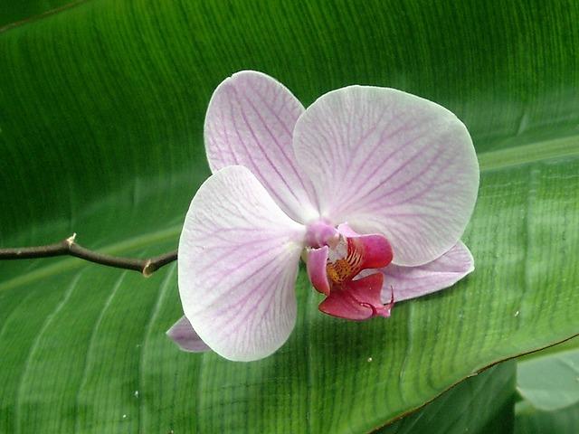 hoa lan hồ điệp đẹp 9