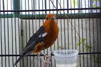 Cara Mengatasi Burung Anis Merah Macet Bunyi Menjadi Gacor dan Teler lagi