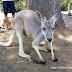 『布里斯本』《景點》龍柏動物園 Lone Pine Koala Sanctuary 遊記介紹!