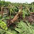 Hướng dẫn khắc phục thiệt hại cây trồng sau bão
