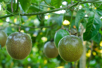passion fruit farming in Kenya