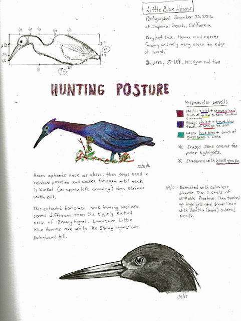Nature Journal Little Blue Heron hunting posture