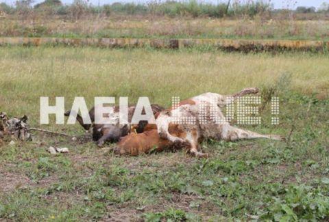 Σε απόγνωση οι κτηνοτρόφοι στην Γαστούνη: Κεραυνός σκότωσε αγελάδες! (photos)