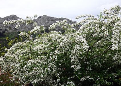 Espino blanco o majuelo