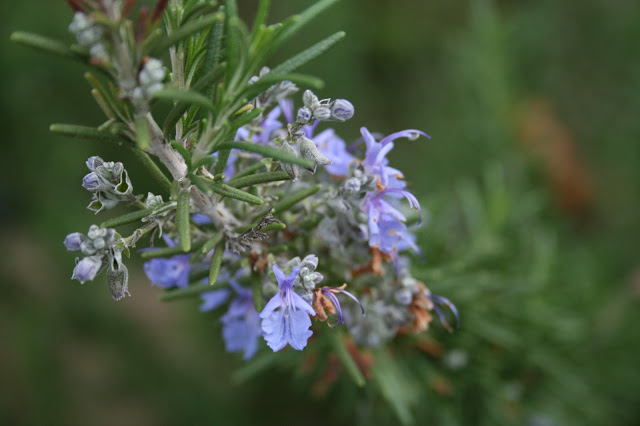 Rosemary%2Bflower.jpg