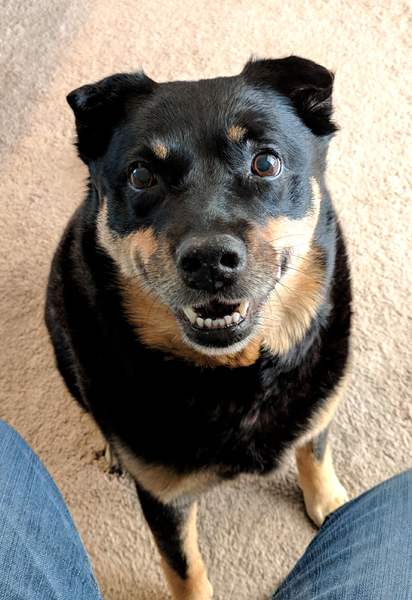 image of Zelda the Black and Tan Mutt sitting at my feet while I'm sitting at my desk, looking up at me with a big grin