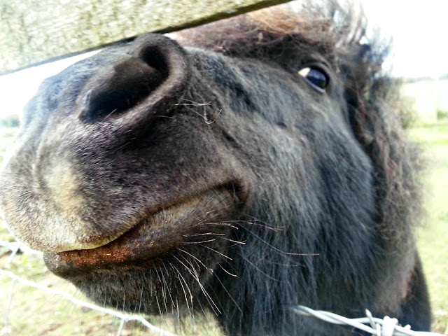 Close Up Shetland Pony Smiling