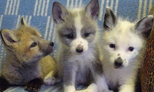 deroucicho: Domesticated Silver Fox