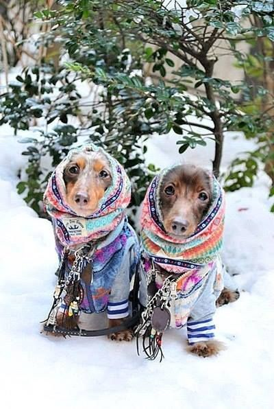 Beautiful winter scene with dachsunds in shawls in snow