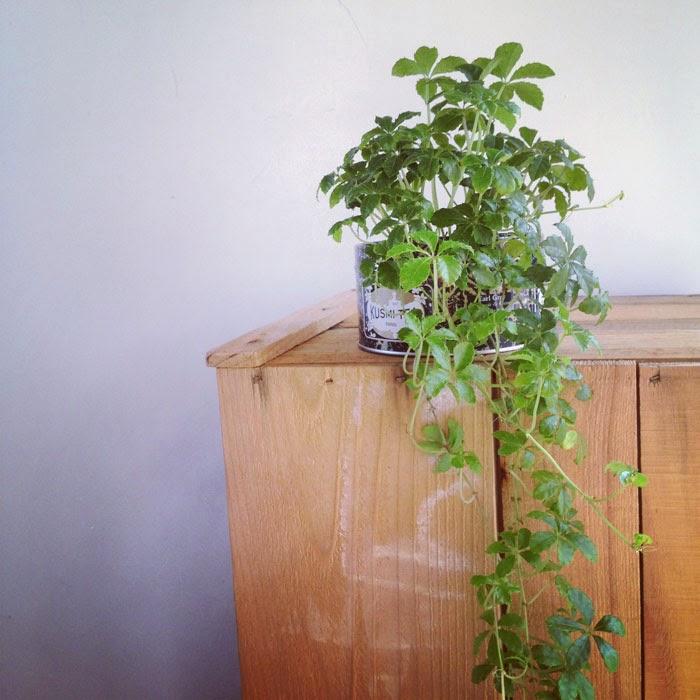 古材のりんご箱にのせたクスミティーの缶に植えたシュガーバインの植物