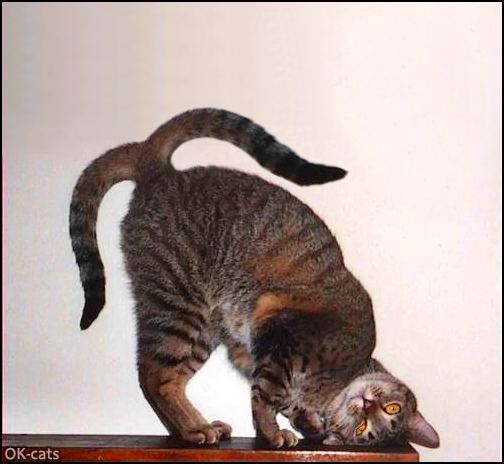 """CAT-nipulation • OMG! Cat with 2 tails in a funny and weird position. """"Please my tails."""""""