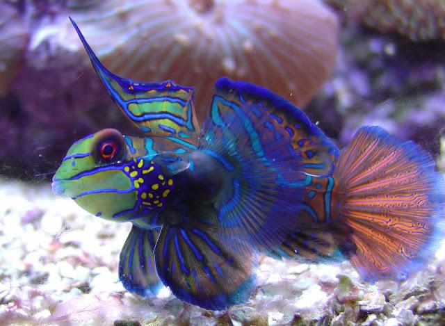 O peixe-mandarim (Synchiropus splendidus) é um peixe de água salgada, adaptado ao clima tropical que mede de 6 a 10 centímetros de comprimento. Vive escondido em fendas nos recifes de coral e alimenta-se de pequenos animais marinhos que passam próximos ao seu esconderijo. Também é encontrado, com menos frequência, em águas rasas protegidas, como lagoas costeiras e pequenas baías.