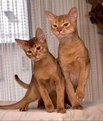 gato-absinio-personalidad-comportamiento