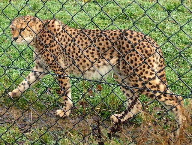 Close up of a cheetah behind a chicken wire fence.