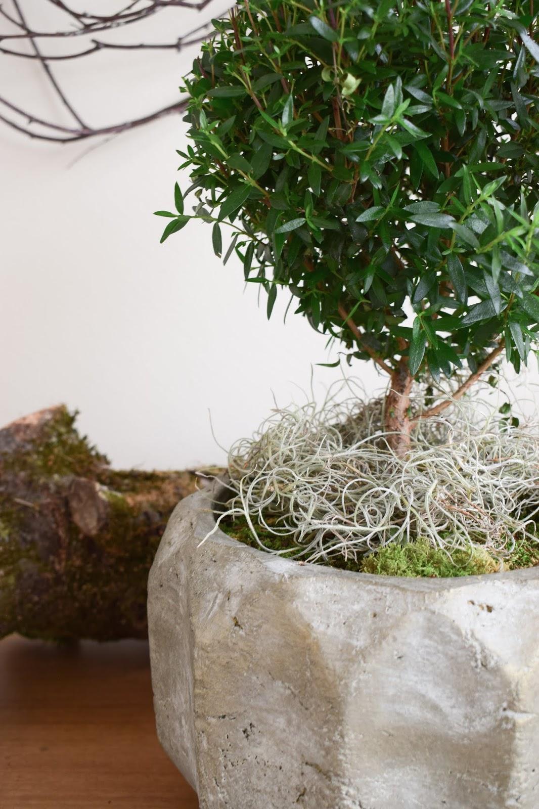 Naturdeko mit Topfpflanze: Verschönerung Übertopf Zimmerpflanze mit Moos Eukalyptus Schleierkraut. Myrte Dekoidee Deko Dekoration Übertopf natürlich dekorieren einfach selbermachen Tilandsien Dschungelmoos
