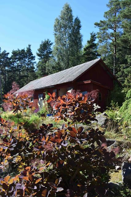 Ladugård, lada, rödbladig perukbuske, Cotinus coggygria
