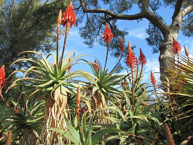 Fioritura Aloe arborescens