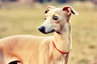Italian Greyhound breeder kennel