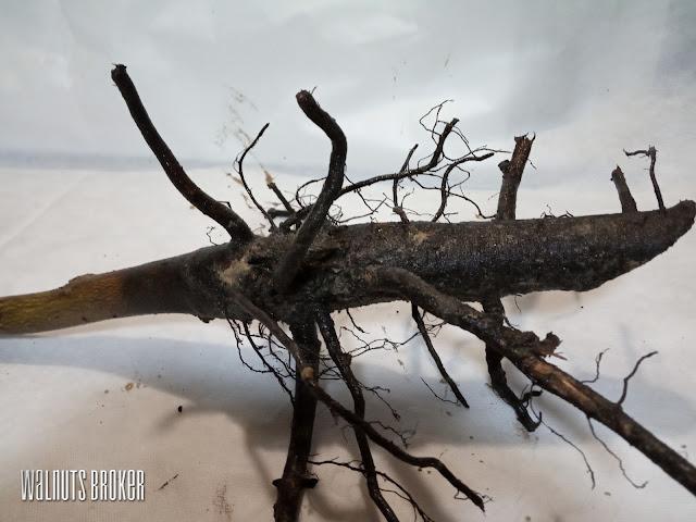 Как выглядят корни грецкого ореха сорт Кочерженко, сорт Иван Багряный, сорт Идеал от Walnuts Broker
