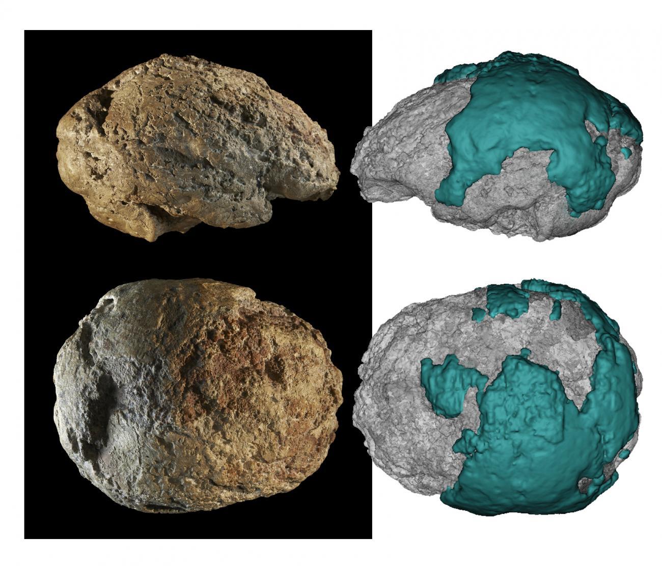Molde interior natural de cráneo neandertal hallado en Gánovce (Eslovaquia). Foto: Eisova et al.