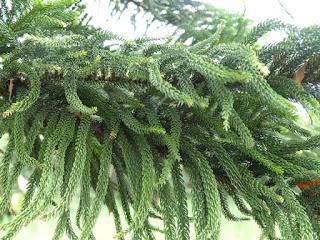 Pin de Norfolk - Araucaria heterophylla - Araucaria excelsa