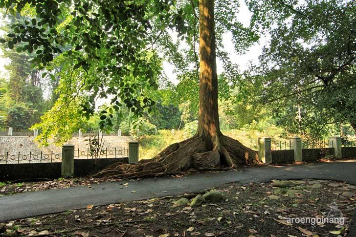 pohon tua kebun raya bogor